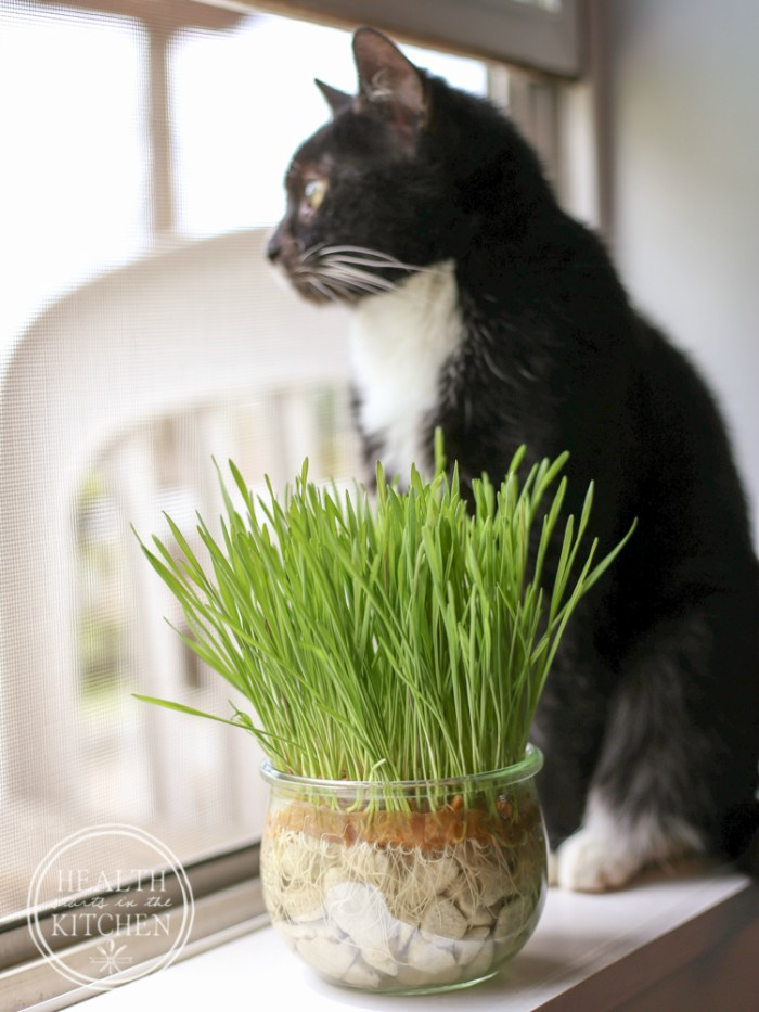 grow-your-own-cat-grass