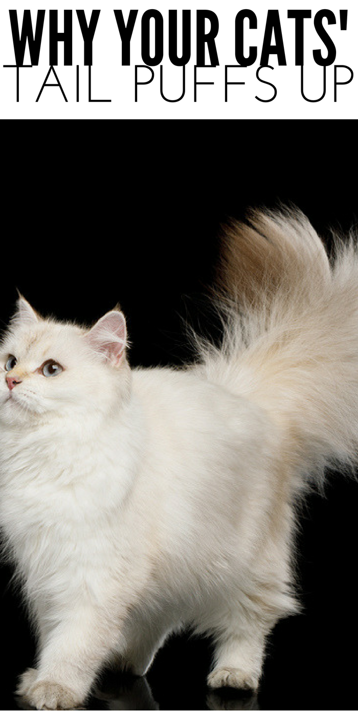Why Do Cats Tails Puff Up cat tail