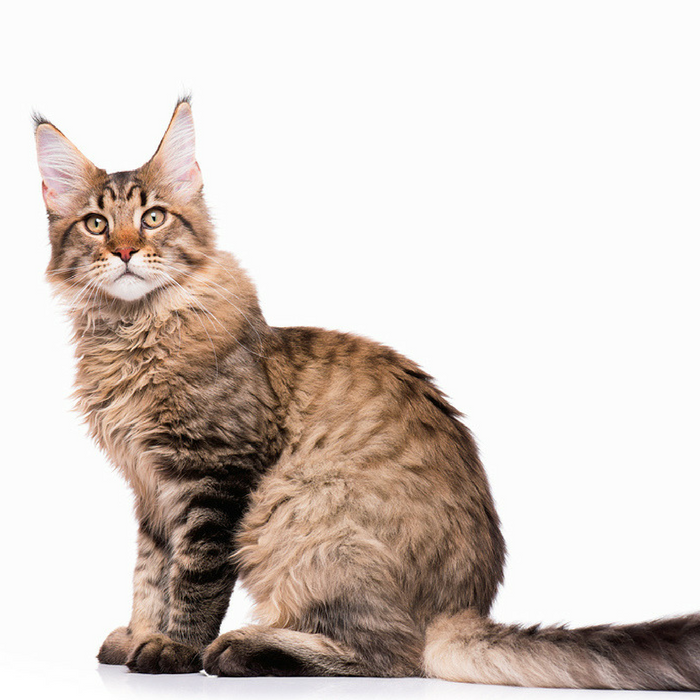 Tell if a Cat is a Maine Coon