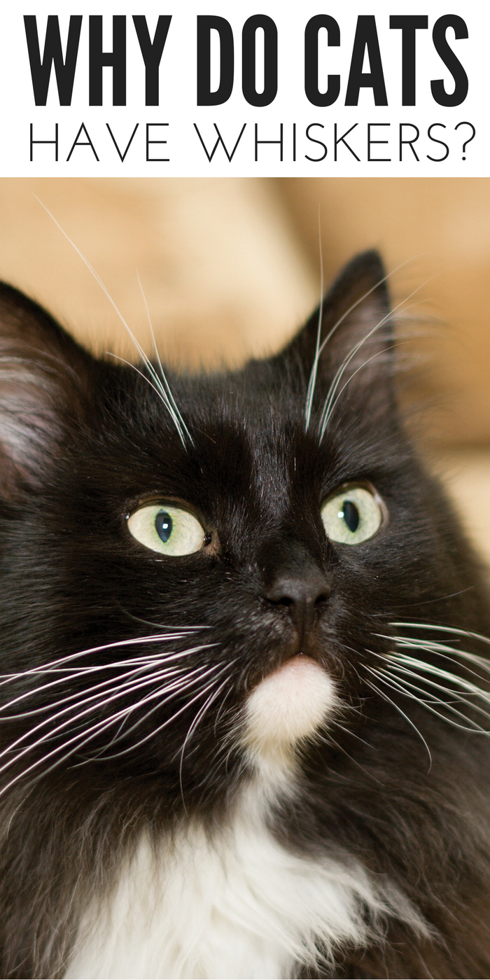 Ever Wondered Why Do Cats Have Whiskers? Find Out Here