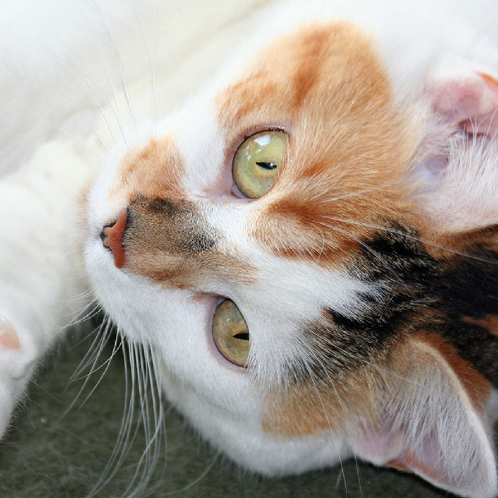 #CrazyCatLady #CatFacts #CalicoCats  calico cat facts