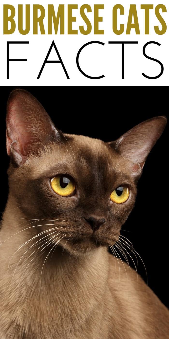 #CrazyCatLady #CatFacts #BurmeseCats  Burmese Cat Breed  Burmese Cat Facts