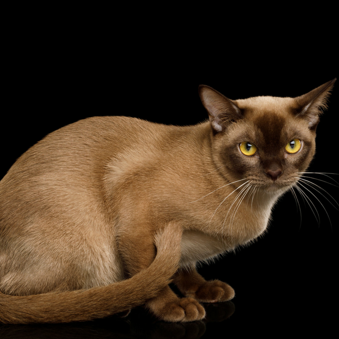 #CrazyCatLady #CatFacts #BurmeseCats  Burmese Cat Breed