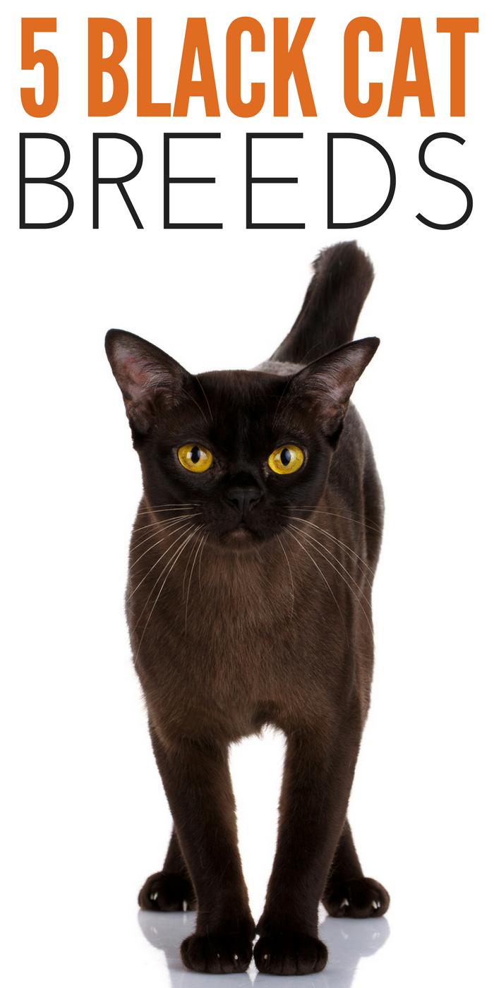 #CrazyCatLady #CatBreeds #BlackCats black cat breeds