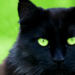 #CrazyCatLady #CatBreeds #BlackCats