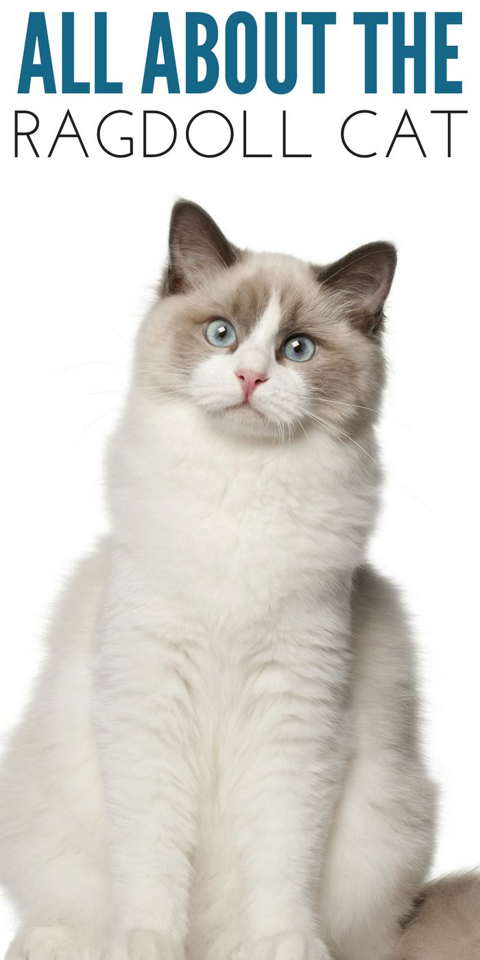 #CrazyCatLady #RagdollCatBreed #CatBreedFacts ragdoll cat