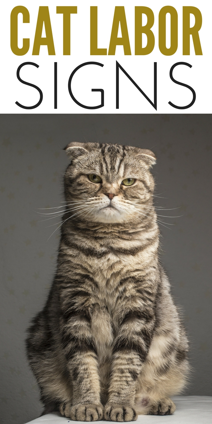#CrazyCatLady #CatCare #PregnantCat pregnant cat labor signs