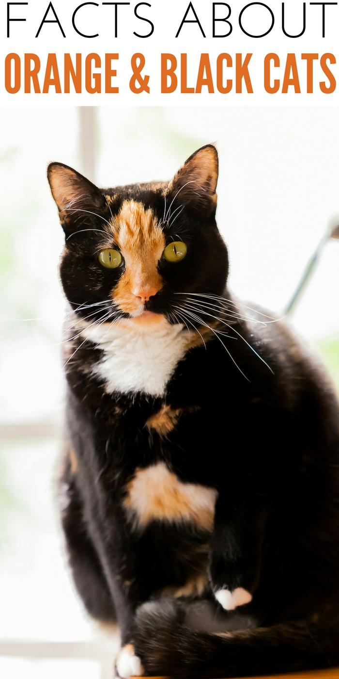 Black and Orange Cats Known As The Tortoiseshell Cat