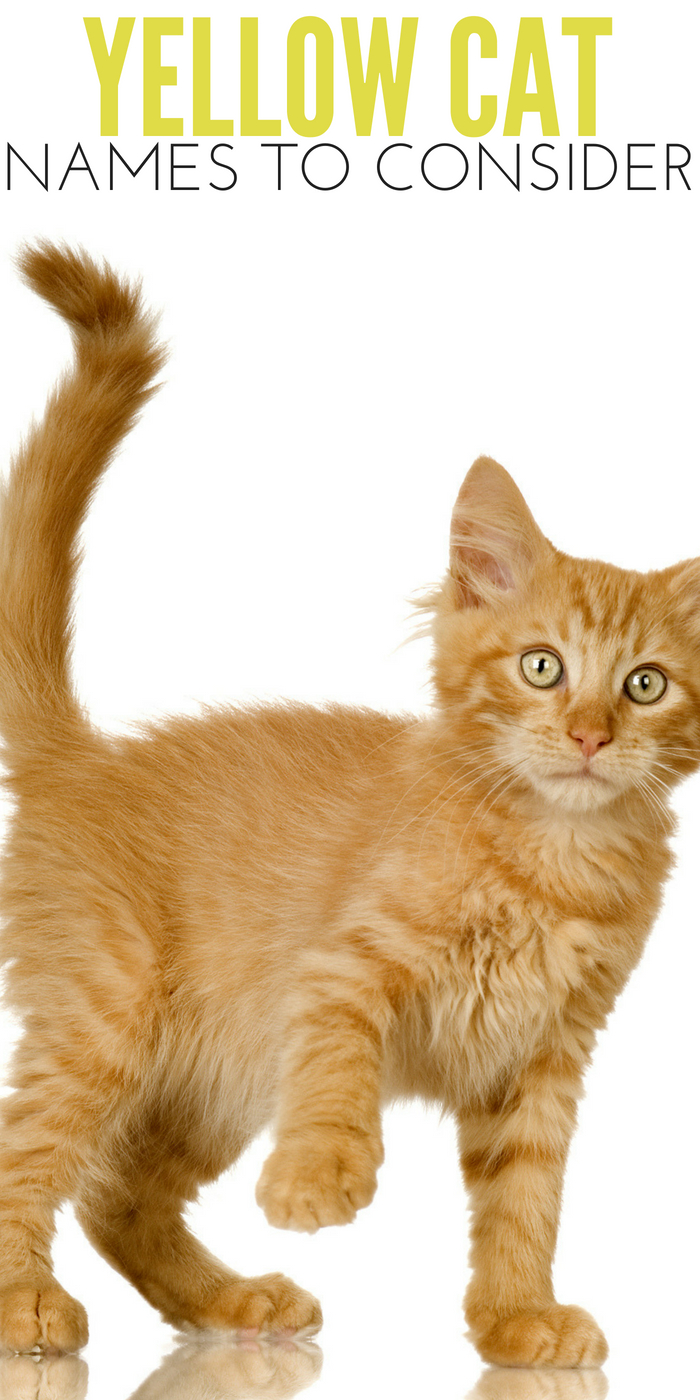 Most Popular Yellow Cat Names To Consider For Your New Cat
