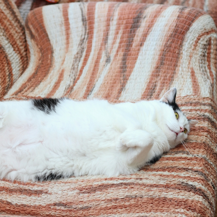 cat bellies