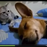 Cat Reaction To Dog Passing Gas In Sleep Is Hilarious