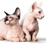 sphinx cat care
