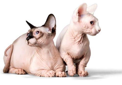 sphinx cat care